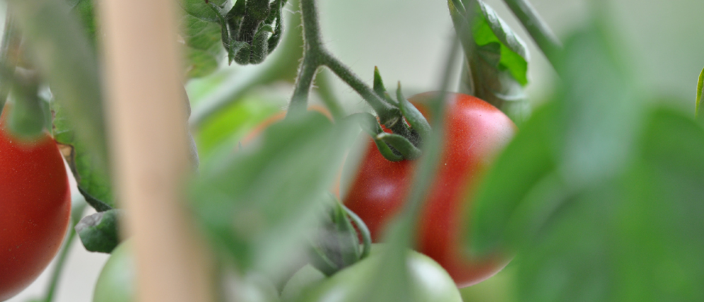 Tomaten.jpg